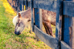 Weiden lassen des Ponys Stockbilder