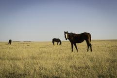 Weiden lassen des Ponys Lizenzfreies Stockfoto