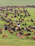 Weiden lassen des Viehs Lizenzfreie Stockbilder