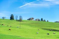 Weiden lassen des Viehs auf Landschaft Lizenzfreies Stockbild