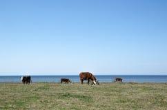 Weiden lassen des Viehs durch die Küste Stockfoto