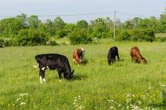 Weiden lassen des Viehs in einem bunten Weideland Lizenzfreies Stockfoto