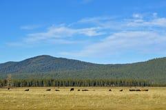 Weiden lassen des Viehs in einem fehlenden Vulkan lizenzfreie stockfotografie