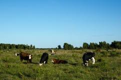 Weiden lassen des Viehs in einem grünen Weideland Stockfotos