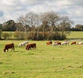 Weiden lassen des Viehs in einer englischen Wiese Lizenzfreies Stockbild