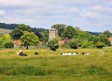 Weiden lassen des Viehs in einer englischen Wiese Stockfotografie