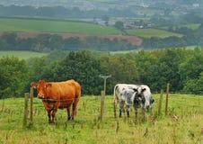 Weiden lassen des Viehs in einer englischen Wiese Stockfotos