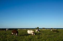 Weiden lassen des Viehs in einer Küstenlandschaft Stockbilder