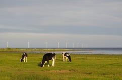 Weiden lassen des Viehs und der Windkraftanlagen Stockfotografie