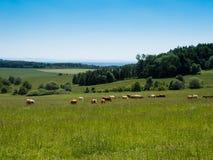 Weiden lassen einer Herde der Kühe, Tschechische Republik lizenzfreies stockbild