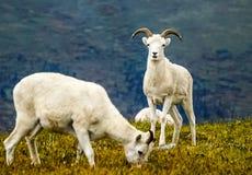 Weiden lassen von dall Schafen Stockbilder