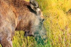 Weiden lassen von Elchen in einer Wiese Lizenzfreie Stockbilder