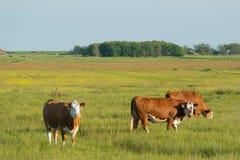 Weiden lassen von Hereford-Kühen Stockfotos
