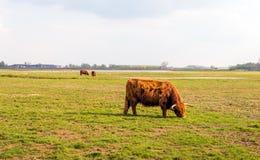 Weiden lassen von Hochlandkühen im Winterpelz Lizenzfreies Stockbild