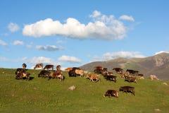Weiden lassen von Kühen auf grünen Hügeln Lizenzfreies Stockfoto