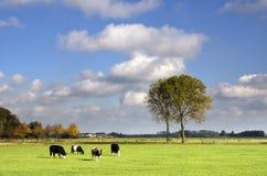 Weiden lassen von Kühen in einer Wiese Lizenzfreie Stockfotos