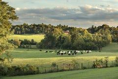 Weiden lassen von Kühen Ende des Nachmittages Lizenzfreies Stockfoto