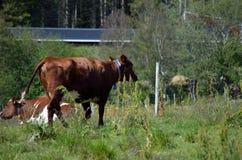 Weiden lassen von Kühen im Sommer Stockfoto