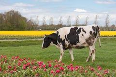 Weiden lassen von Kühen nahe einem niederländischen Tulpenfeld Stockfotografie