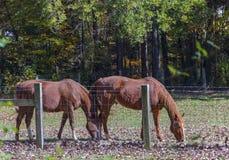 Weiden lassen von Pferden Lizenzfreies Stockbild