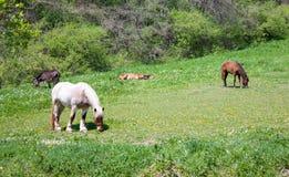 Weiden lassen von Pferden Stockbilder