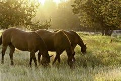 Weiden lassen von Pferden Stockfotografie