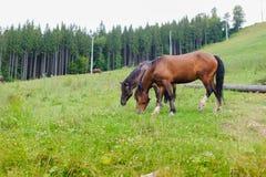 Weiden lassen von Pferden auf dem Abhang Stockfotos