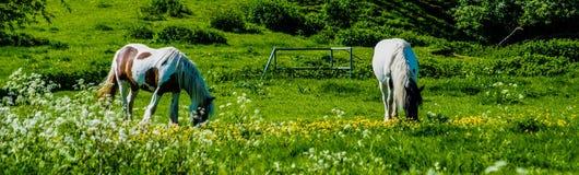 Weiden lassen von Pferden auf einem Bedfordshire-Gebiet Lizenzfreies Stockbild