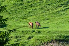 Weiden lassen von reinrassigen Pferden auf grüner Wiese in den Karpatenbergen lizenzfreies stockbild