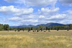 Weiden lassen von Rindfleisch-Ochsen in Oregon lizenzfreies stockfoto