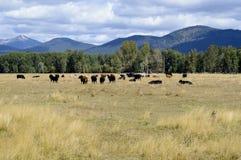 Weiden lassen von Rindfleisch-Ochsen in Oregon stockbild