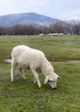 Weiden lassen von Schafen Stockfotografie