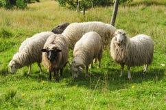 Weiden lassen von Schafen Stockfoto