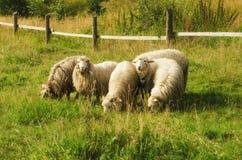 Weiden lassen von Schafen Stockbilder