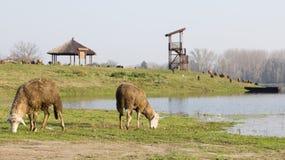 Weiden lassen von Schafen Lizenzfreie Stockfotografie