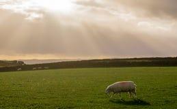 Weiden lassen von Schafen Stockfotos