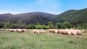Weiden lassen von Schafen stock video