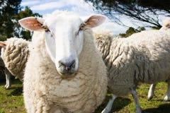 Weiden lassen von Schafen Lizenzfreie Stockbilder