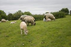 Weiden lassen von Schafen Lizenzfreies Stockbild