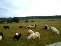Weiden lassen von Schafen auf der Wiese Lizenzfreies Stockfoto