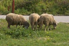 Weiden lassen von Schafen lizenzfreies stockfoto