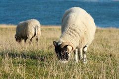 Weiden lassen von Schafen im Spätherbst Stockfotos