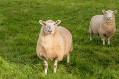 Weiden lassen von Schafen, Südinsel, Neuseeland Stockfotografie