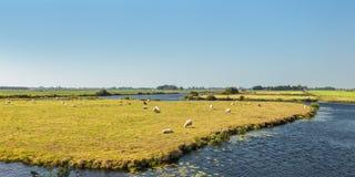 Weiden lassen von Schafen zwischen Wasser in den Niederlanden Lizenzfreies Stockbild