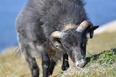 Weiden lassen von schwarzen isländischen Schafen Lizenzfreie Stockbilder