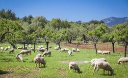 Weiden lassen von sheeps Stockbild