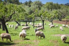 Weiden lassen von sheeps Lizenzfreies Stockfoto