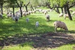 Weiden lassen von sheeps Stockbilder