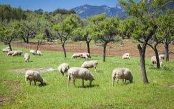 Weiden lassen von sheeps Stockfotografie