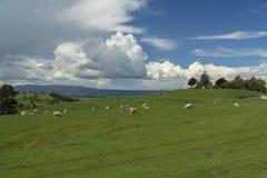Weiden lassen von sheeps Irgendwo in Neuseeland Stockbilder